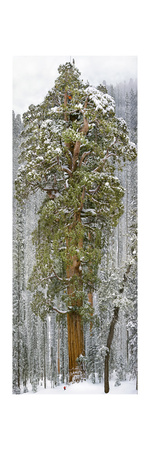 A Team of Scientists Measure a Giant Sequoia, Called the President Photographic Print by Michael Nichols