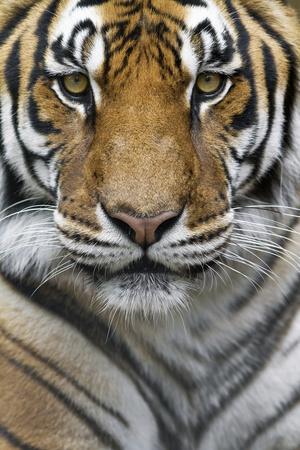 Portrait of a Male Bengal Tiger, Panthera Tigris Tigris Photographic Print by Karine Aigner