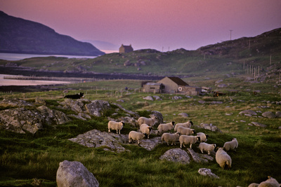 A Sheepdog Guards Its Flock Grazing on a Rock Filled Field Photographic Print by Jim Richardson