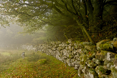 A Bird Dog Trots Along a Stone Fence in the Southwest of England Photographic Print by Medford Taylor