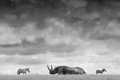 A White Rhino Lies in the Grass As Two Zebras Graze Behind Fotografisk tryk af Robin Moore