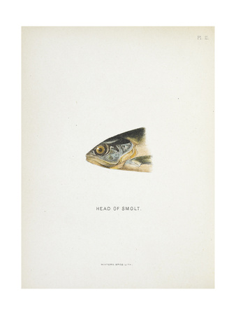 Head Of Smolt. a Fish Head Giclee Print by Fraser Sandeman