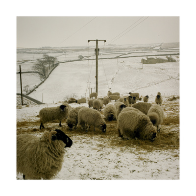 Sheep Feeding On Straw in Snowy Landscape. Ponden Moor, 1987 Giclee Print by Fay Godwin