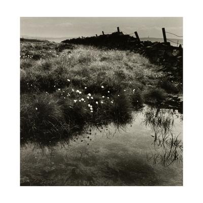 Bog Cotton, Bridestones Moor Giclee Print by Fay Godwin