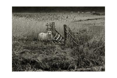 Sheep Near Broken Gate in Field Giclee Print by Fay Godwin