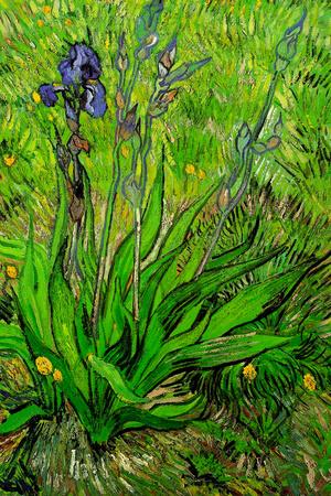 Vincent van Gogh The Iris Posters by Vincent van Gogh