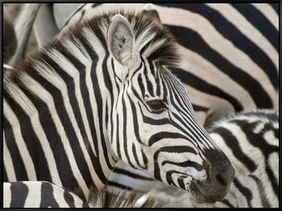 Burchells Zebra, Head, Botswana Framed Canvas Print by Mike Powles