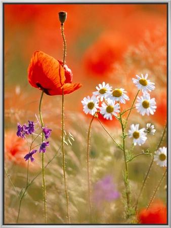 Poppy, camomile and larkspur Framed Canvas Print by Herbert Kehrer
