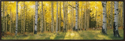 Aspen Trees in Coconino National Forest, Arizona, USA Framed Canvas Print by  Panoramic Images