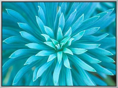 Euphorbia, Roche Harbor, Washington, USA Framed Canvas Print by Rob Tilley