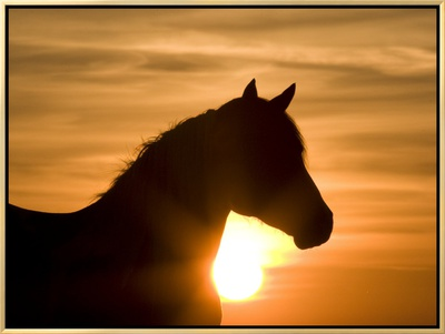 Silhouette of Wild Horse Mustang Pinto Mare at Sunrise, Mccullough Peaks, Wyoming, USA Framed Canvas Print by Carol Walker