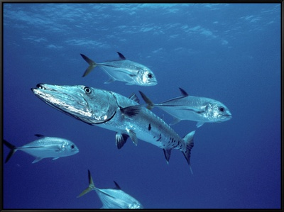 A Great Barracuda (Sphyraena Barracuda) Surrounded by Jacks Framed Canvas Print by Marty Snyderman