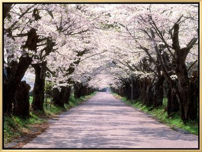 Row of Cherry Trees Framed Canvas Print