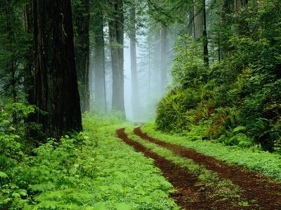 Carretera sin pavimentar en el bosque de Redwoods Lámina en metal