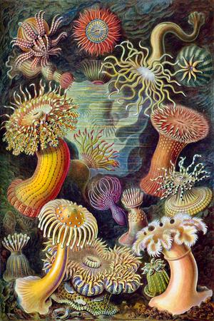 Actiniae Nature by Ernst Haeckel Prints by Ernst Haeckel