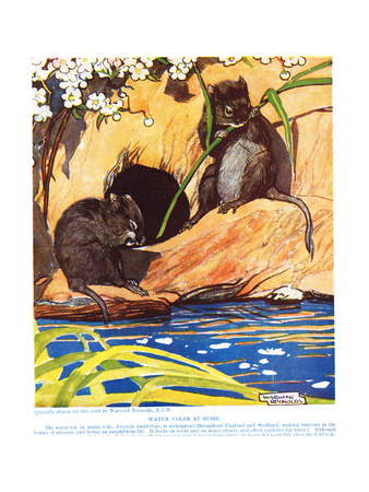 Water Voles at Home, Illustration from 'The New Natural History', by John Arthur Thompson… Giclee Print by Warwick Reynolds