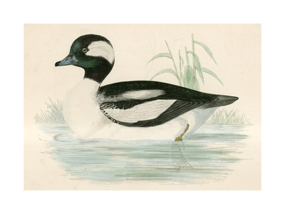 Buffel Headed Duck Giclee Print by Beverley R. Morris