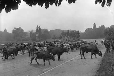 Longchamp Racecourse Transformed into a Cattle Enclosure, Near the Mill of Longchamp, Paris, 1914 Photographic Print by Jacques Moreau