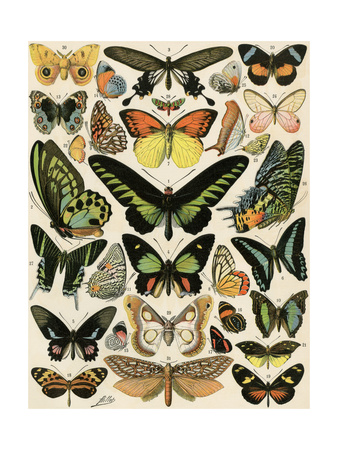 Butterflies and Moths not native to Europe Giclee Print