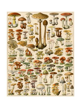 Varieties of Mushrooms Giclee Print