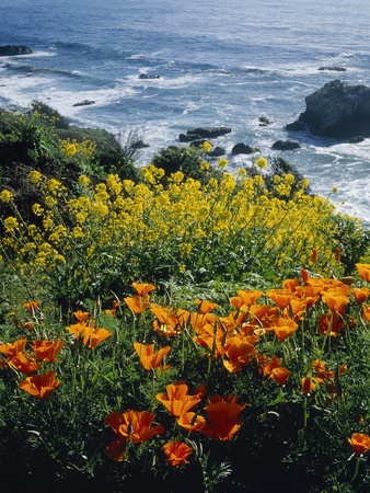 Poppies Along Coast CA USA Photographic Print by Green Light Collection