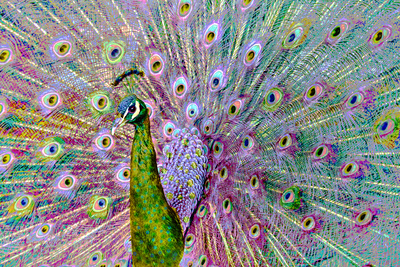 Psychedelic Peacock Photographic Print by Dee Smart