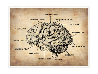 Vintage Brain Map Anatomy Posters by  NaxArt
