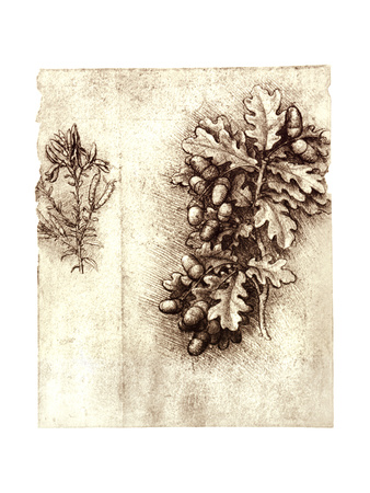 Leonardo Da Vinci's Oak Leaves And Acorns Giclee Print by Sheila Terry!