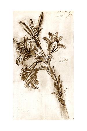 Leonardo Da Vinci's Lilies. Giclee Print by Sheila Terry
