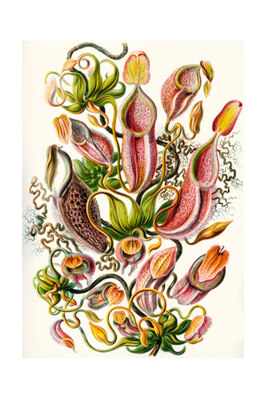 A Collection of Nepenthaceae from 'Kunstformen Der Natur', 1899 Giclee Print by Ernst Haeckel