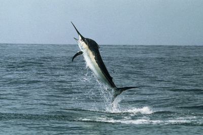 Black Marlin Photographic Print by Georgette Douwma