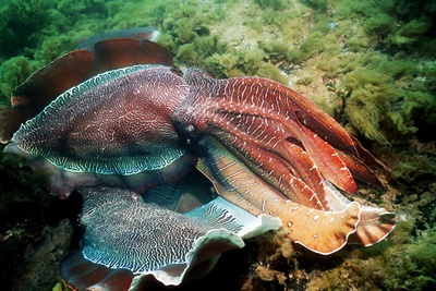 Giant Cuttlefish Males Fighting Photographic Print by Georgette Douwma