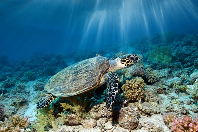Hawksbill Turtle Photographic Print by Georgette Douwma
