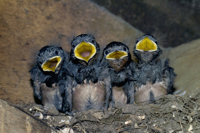 Swallow Chicks Photographic Print by Georgette Douwma