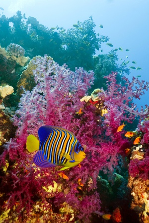 Regal Angelfish Photographic Print by Georgette Douwma