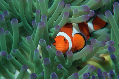 Western Clown Anemonefish Photographic Print by Georgette Douwma