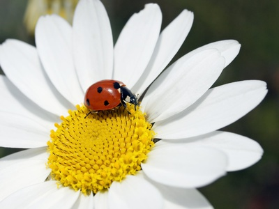 Chamomile Flower And Ladybird Photographic Print by Adrian Bicker