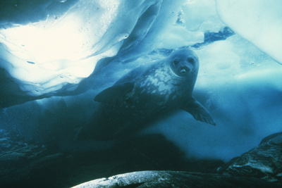 Weddell Seal Photographic Print by Doug Allan