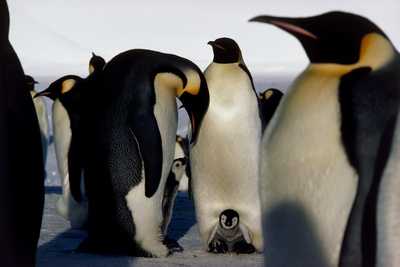 Emperor Penguins Sheltering Chicks Photographic Print by Doug Allan