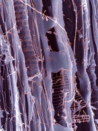 Rotten Wood, SEM Premium Photographic Print by Dr. Jeremy Burgess