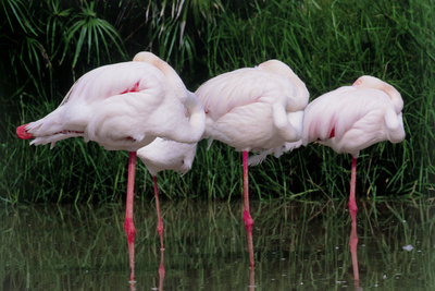 Greater Flamingos Sleeping Photographic Print by Tony Camacho