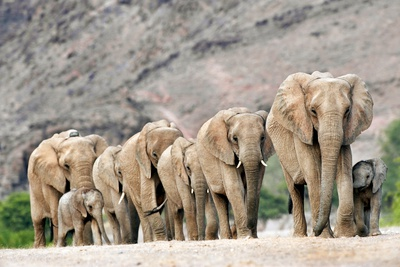 Desert-adapted Elephants Photographic Print by Tony Camacho