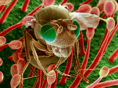Fly Caught In Sundew, SEM Premium Photographic Print by Dr. Jeremy Burgess