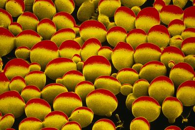 False-colour SEM of Yeast Cells Photographic Print by Dr. Jeremy Burgess