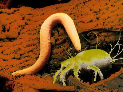 False-colour SEM of a Nematode Worm & Acarus Siro Premium Photographic Print by Dr. Jeremy Burgess