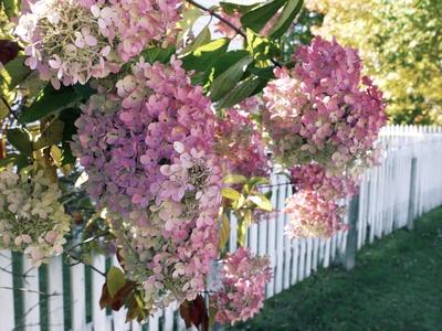 Hydrangea Garden Flowers Fotoprint av Tony Craddock