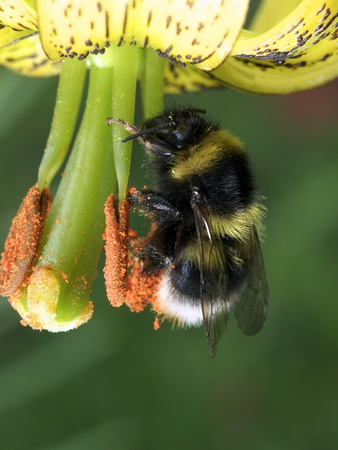 Bumblebee Collecting Pollen Premium Photographic Print by Dr. Jeremy Burgess