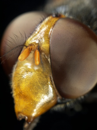 Hoverfly Head Premium Photographic Print by Dr. Jeremy Burgess