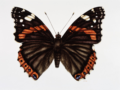 Red Admiral Butterfly Photographic Print by Lizzie Harper