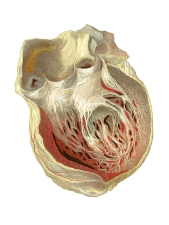 Heart Anatomy, Artwork Photographic Print by Mehau Kulyk